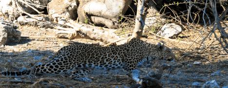 Jagender Leopard.