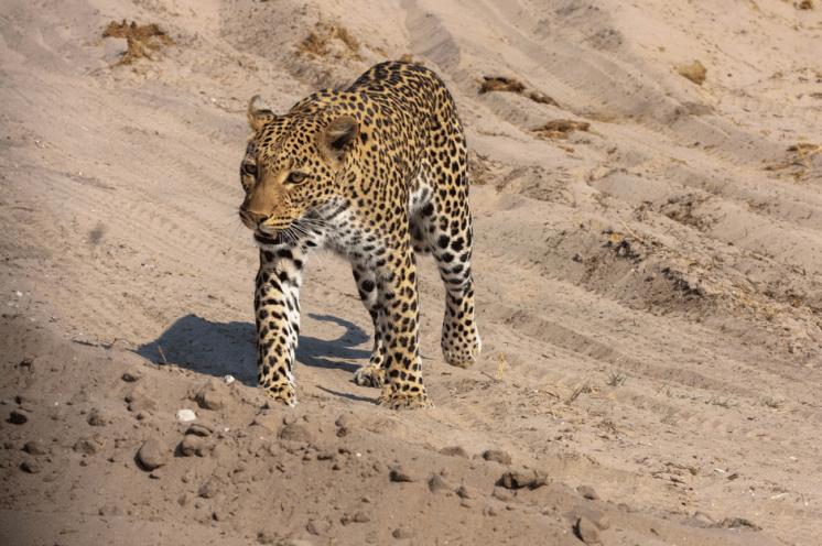Leopard im Chobe Nationalpark