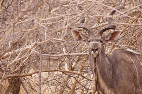 Männliches Kudu