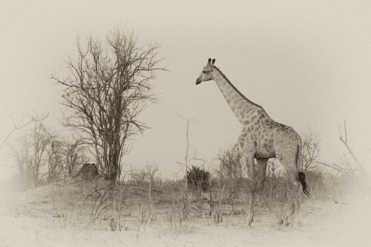 Giraffe antik