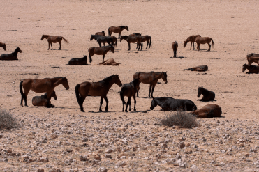 Wildpferde in der Namib, Namibia