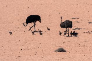 Straußenfamilie, Namibia