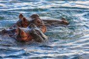 Nilpferde im Sambesi