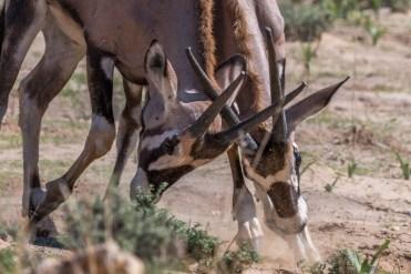 Junge Oryxbullen kämpfen, Kgalagadi