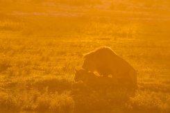 Verliebte Löwen im ersten Sonnenlicht, Kgalagadi