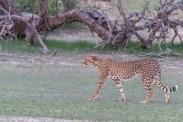 Geparden Mama bei Mata Mata, Kgalagadi