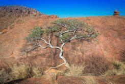 Baum in der Wüste, Namibia