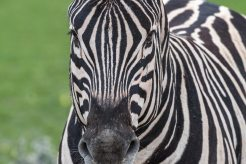 Zebra Portrait in Etosha