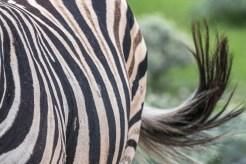 Zebra Nahaufnahme in Etosha
