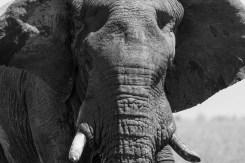 Elefantenbulle in Etosha