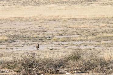 Braune Hyäne in Mabuasehube