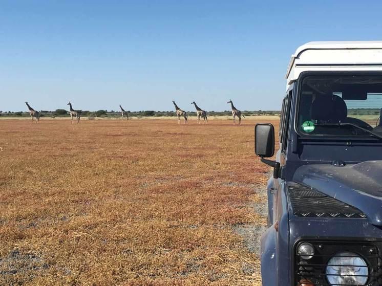 Giraffen und Land Rover in der Deception Pan