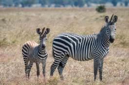 Zebrafamilie im Mikumi Nationapark in Tansania