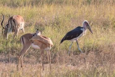 Marabustorch im Mikumi Nationalpark in Tansania