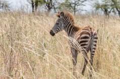 Zebrababy in der Serengeti