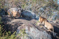 Ein Büffel bedroht einen ausgewachsenen Löwen