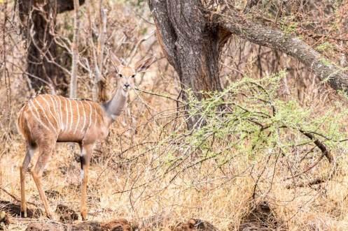 Kleines Kudu Weibchen im Tsavo West