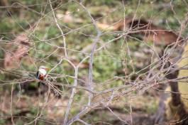Graukopfliest im Tsavo West (Grey-headed kingfisher)