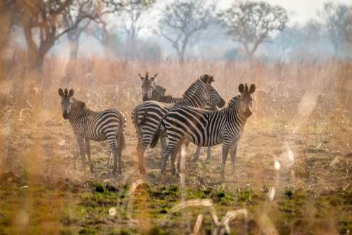 Zebras im Luambe Nationalpark