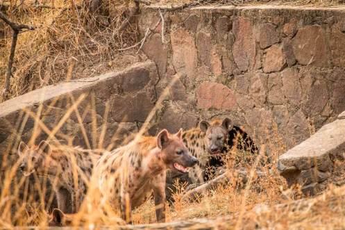 Hyänen vor ihrem Bau im South Luangwa