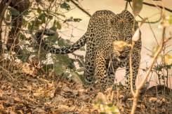 Männlicher Leopard im South Luangwa Nationalpark