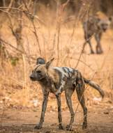 Wild Dog und Hyäne im South Luangwa Nationalpark