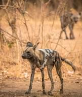 Wild Dog und Hyäne im South Luangwa Nationalpark
