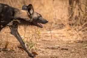 Wild Dog auf der Jagd im South Luangwa Nationalpark