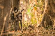 Wild Dog im South Luangwa Nationalpark