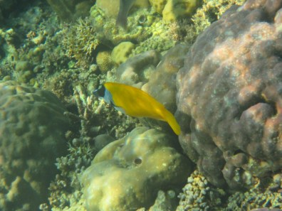 Bali Honeymoon Menjangan snorkelling yellow fish
