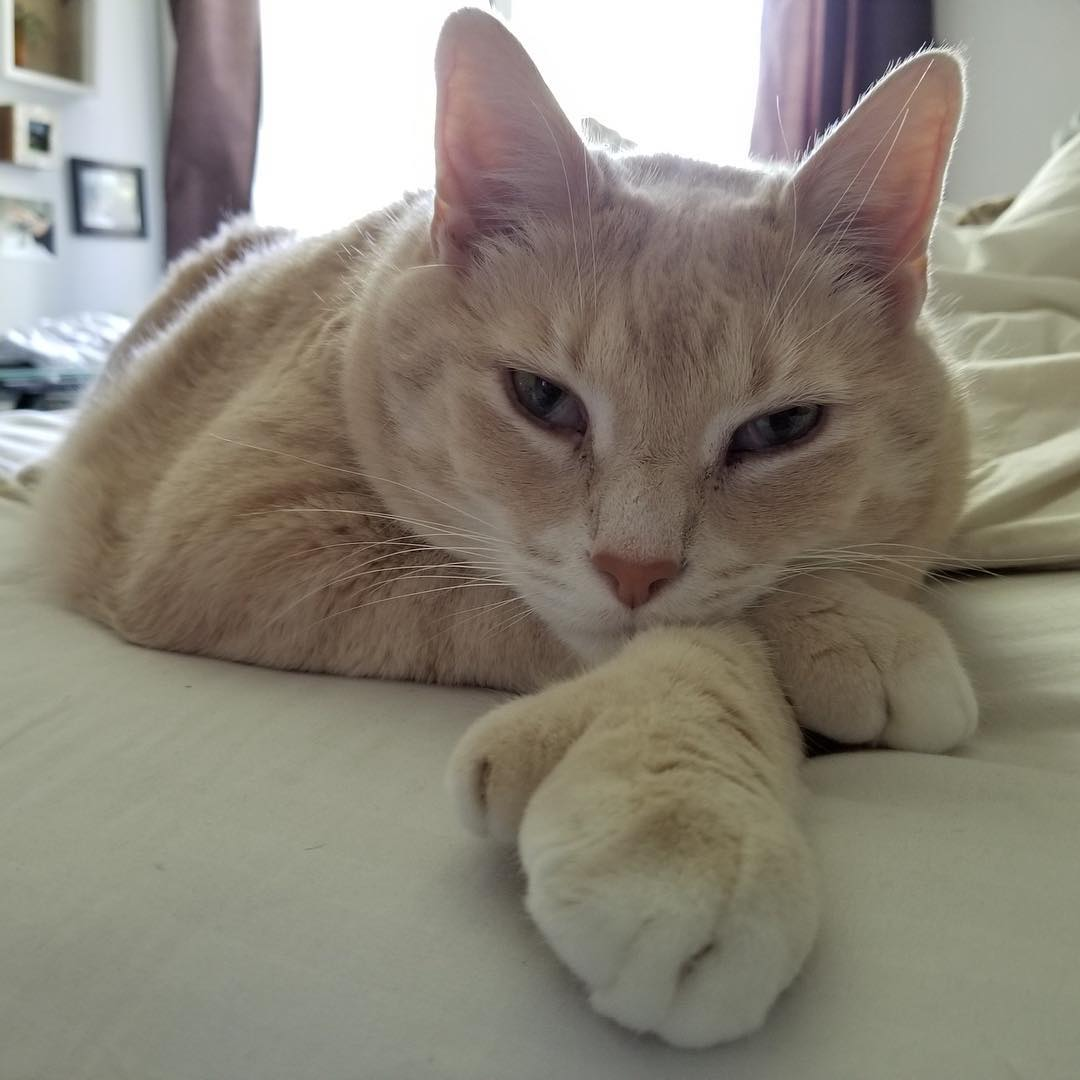 這是給阿嬤養過的是不是?!3歲貓咪體重直飆15公斤 胖到走路像老虎