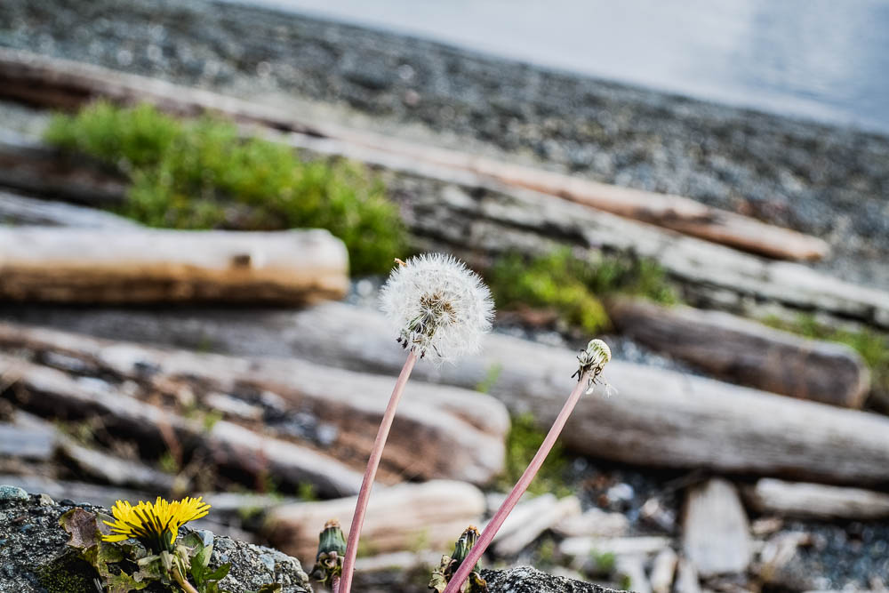 Dandelions and driftwood by the sea shore
