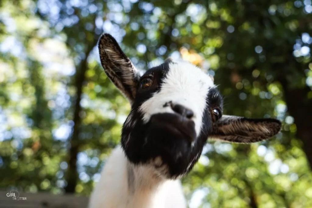 Chèvre au Parc animalier du Thot