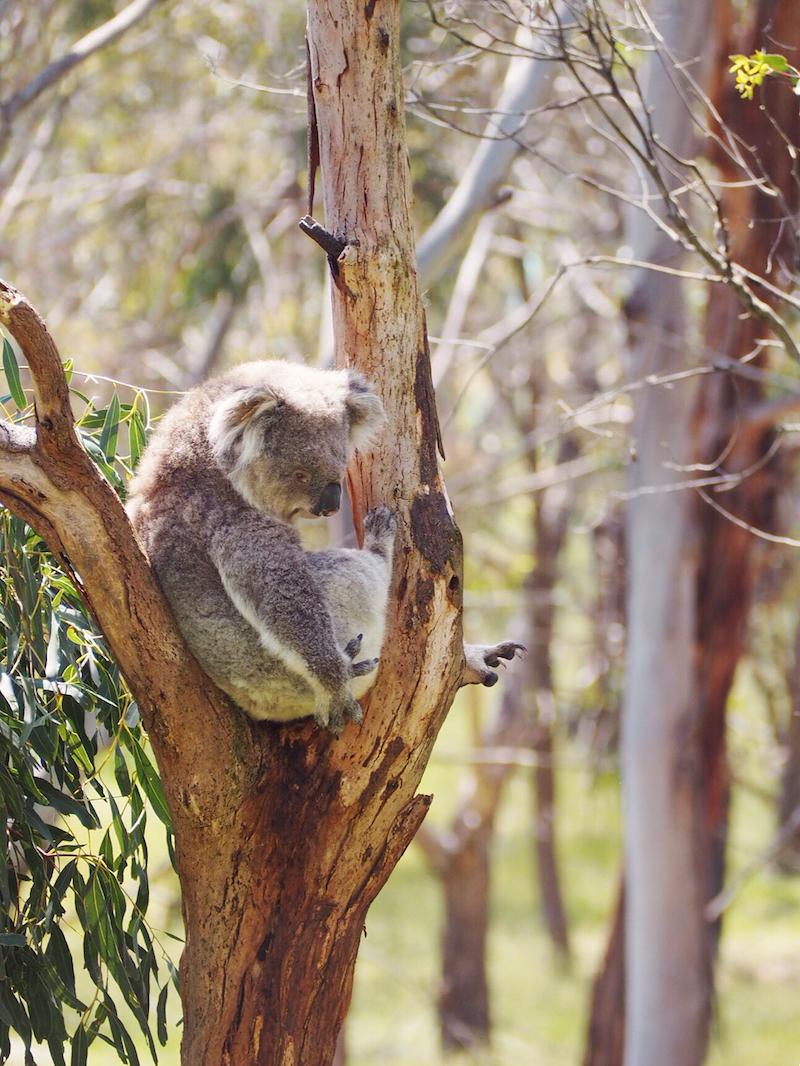Koala conservation park Phillip Island