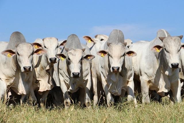 Qual o percentual de transferência genética de um touro melhorador para o bezerro?