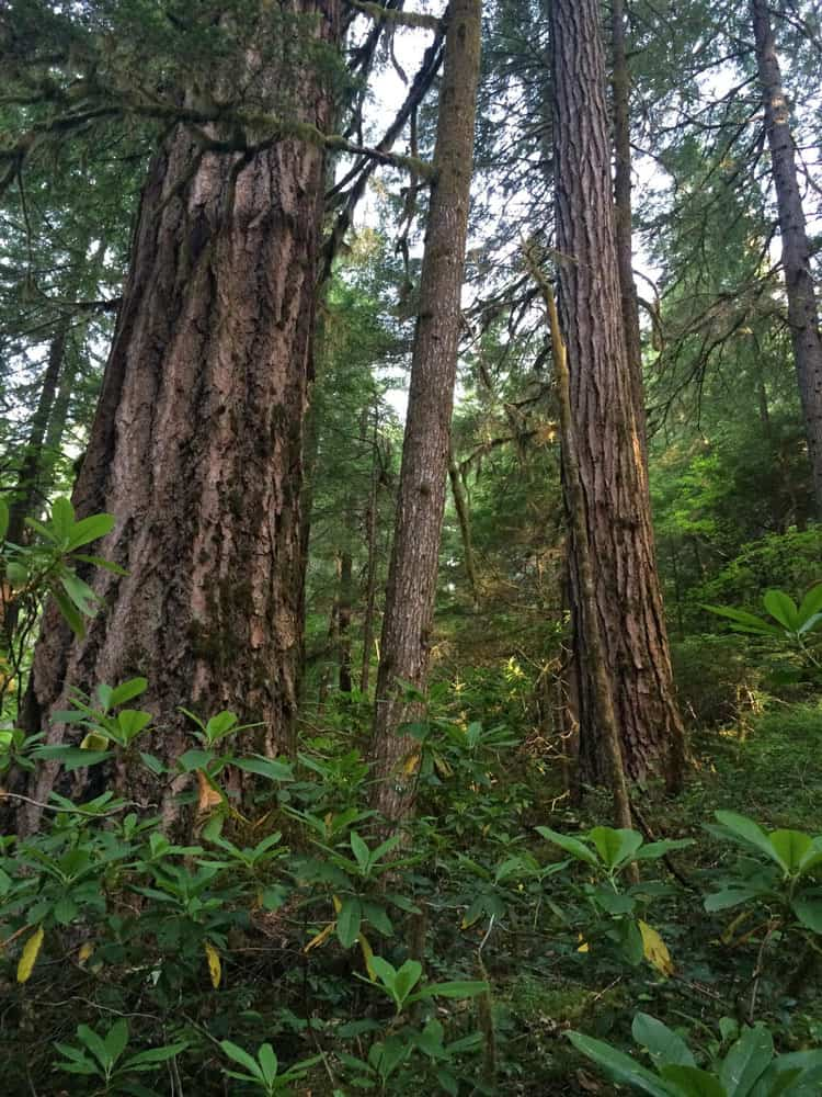 Old growth forest at the HJ Andrews Experimental Forest in Oregon.  Photo: Matthew Betts, Oregon State University. Public domain