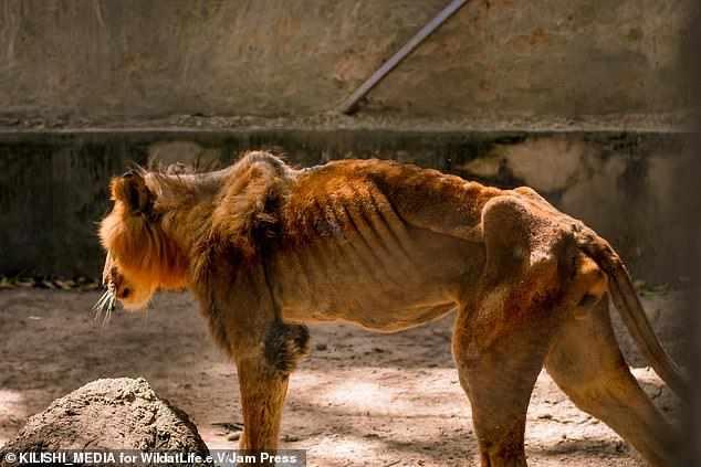 starving lion in kaduna zoo