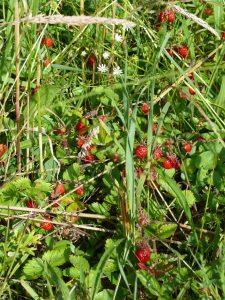 fraise des bois morvan gîte colombière