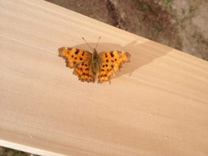 papillon morvan