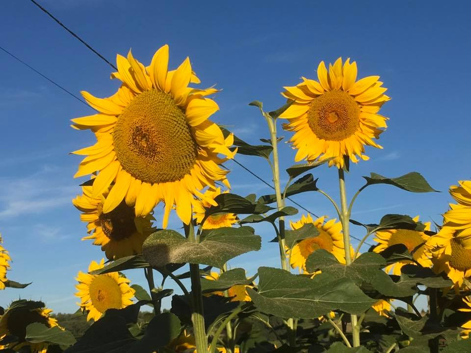 Sunflowers in the fields around Les Pignons