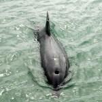 dauphin dans le raz de Sein