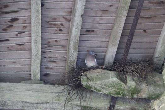 Pigeons-(3)