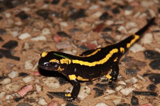 salamandre-brejoliere