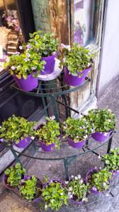 violette-di-parma