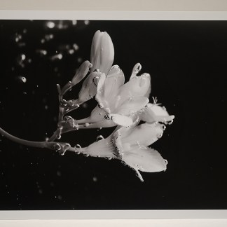 Scent of freesia. Black and white photo (cm 45 x cm 30) Print on Ilford Galerie Smooth Pearl (310gsm) Paper