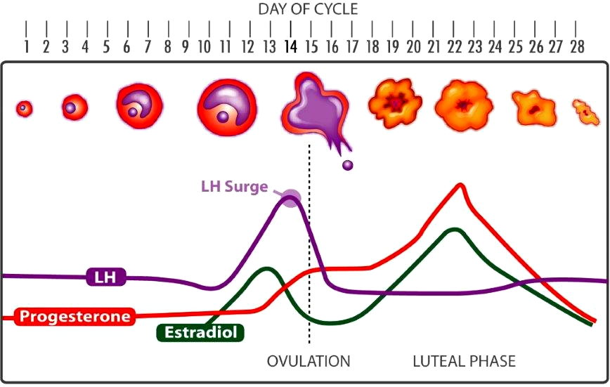 menstrual cycle diagram with ovulation hpm 770rel1 wiring review graph