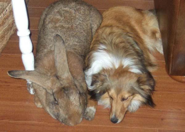 Super-sized animals: Flemish Rabbit