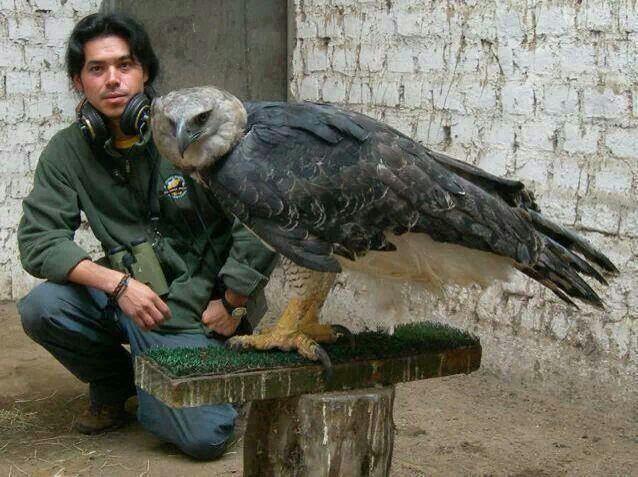Super-sized animals: Harpy Eagle