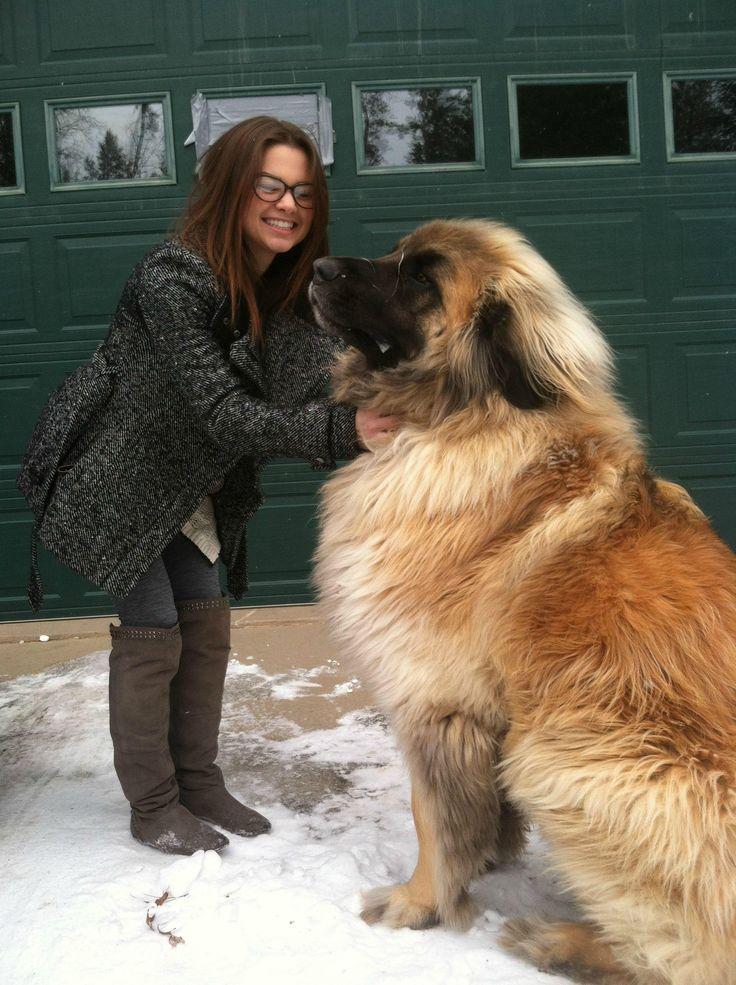 Super-sized animals: Leonberger