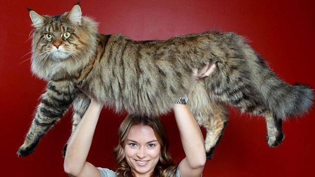 Super-sized animals: Maine Coon